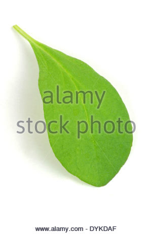 Lamiaceae Family Stock Photos & Lamiaceae Family Stock Images.