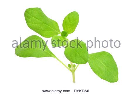 Lamiaceae Family Stock Photos & Lamiaceae Family Stock Images.