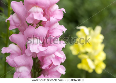 Snapdragon free stock photos download (6 Free stock photos) for.