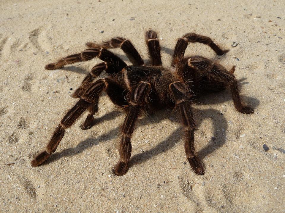 Tarantula.