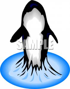 An_Orca_Breaching_Royalty_Free_Clipart_Picture_100429.