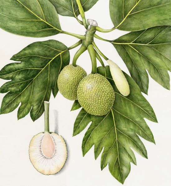1000+ images about Breadfruit on Pinterest.