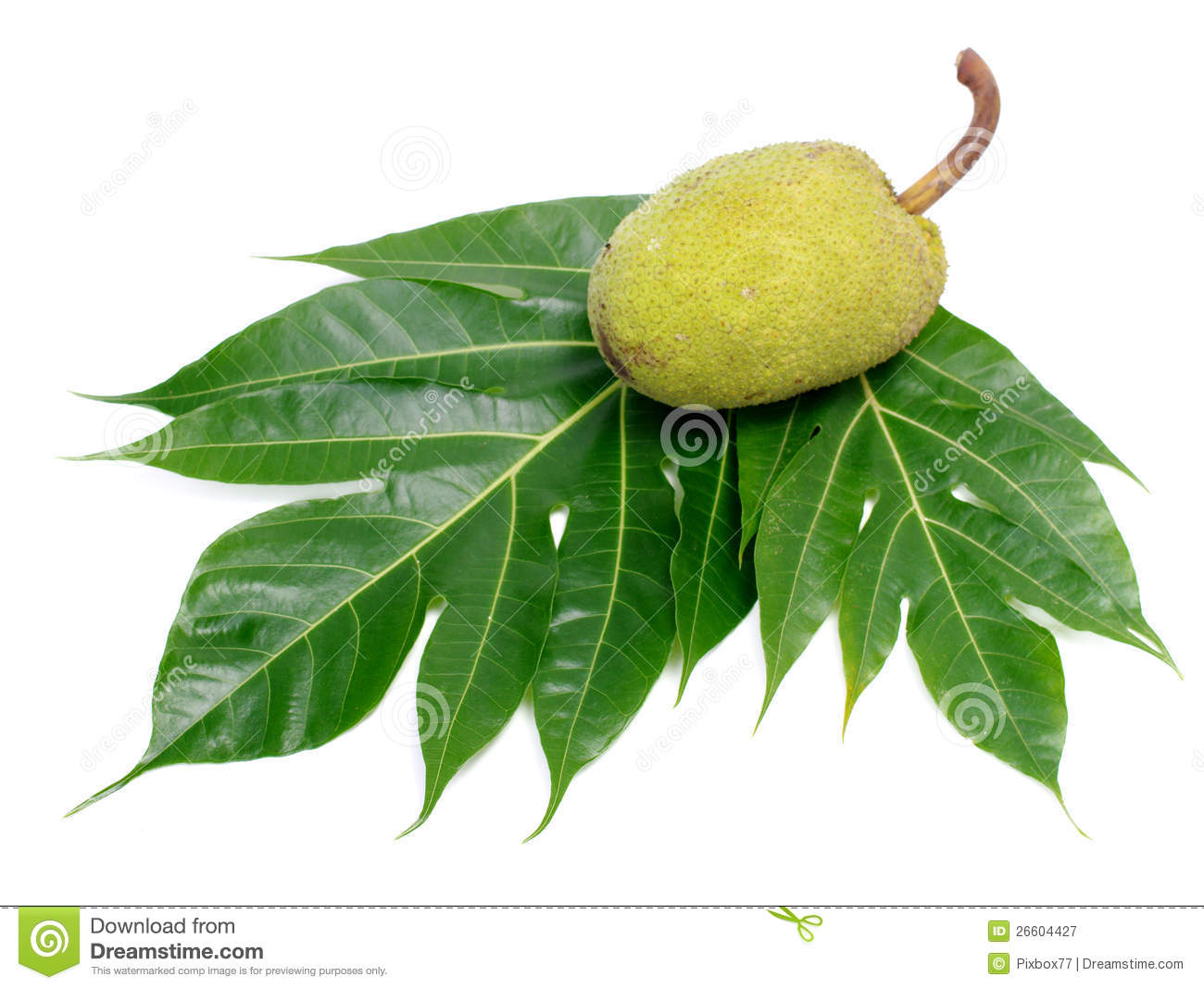 Breadfruit Leaf Isolated Royalty Free Stock Photography.