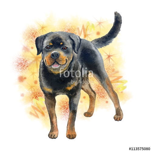 Watercolor closeup portrait of large Rottweiler breed dog isolated.