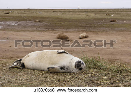 Pictures of Grey seal (Halichoerus grypus) pup in white lanugo.