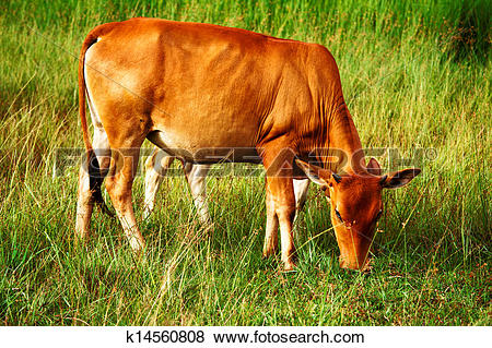 Pictures of Cattle breeding ground for the city. k14560808.