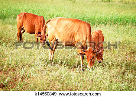 Stock Photograph of Cattle breeding ground for the city. k14560849.