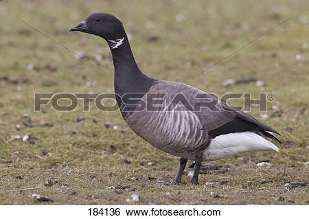 Stock Images of Brent Goose (Branta bernicla). Adult standing in a.