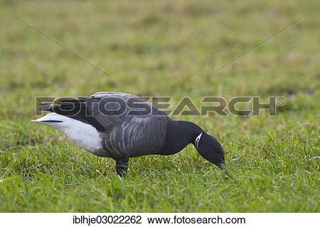 """Stock Photo of """"Brent Goose or Brant Goose (Branta bernicla."""