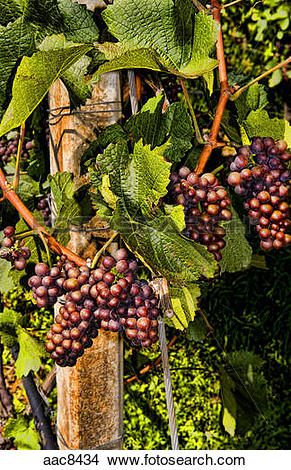 Stock Photo of Close up of grapes in vineyards in small village.