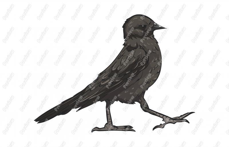 Realistic Brewer\'s Blackbird Character Clip Art.