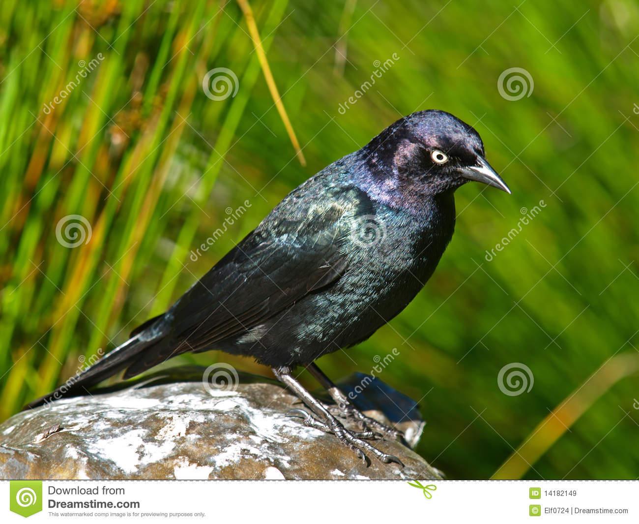 Brewer's Blackbird(Euphagus Cyanocephalus) Royalty Free Stock.