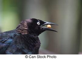 Stock Photos of Brewer's Blackbird.