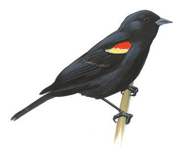 Brewer's Blackbird.