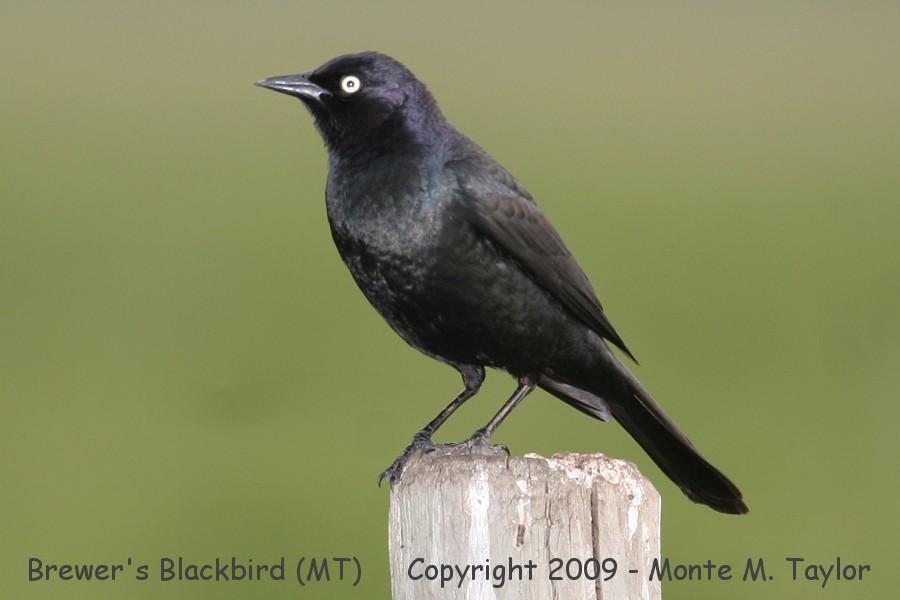 blackbird_brewers_male_summer_montana_1a.jpg.