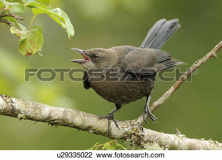 Stock Photo of Juvenile Brewer's Blackbird begging for food.