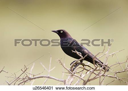 Stock Photography of Brewers blackbird, Farwell Canyon, British.