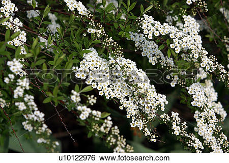 Stock Images of Bridal Wreath spirea u10122976.