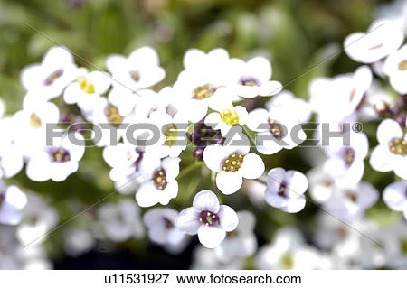 Picture of blossom, plant, bloom, flowers, plants, bridal wreath.