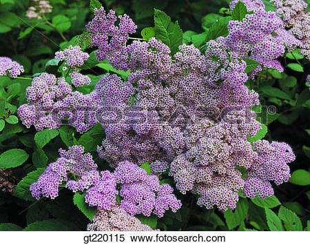 Stock Image of Spiraea cantoniensis, Rosaceae, bridal wreath.