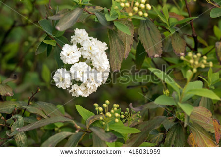 Spirea Flower Stock Photos, Royalty.
