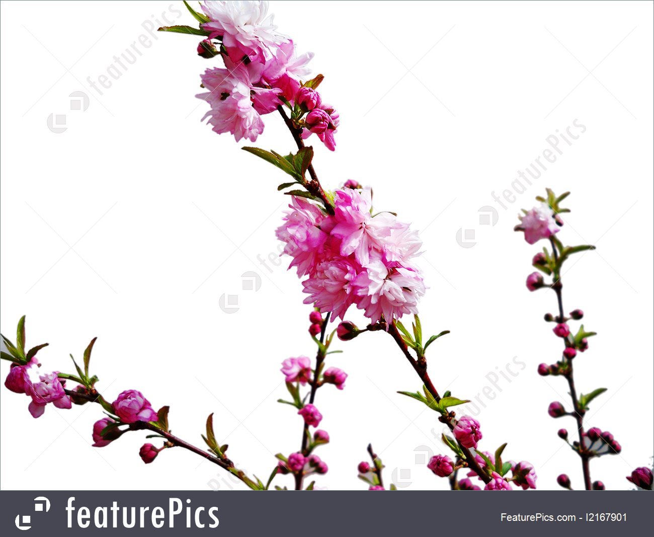 Flowers: Pink Bridal Wreath.