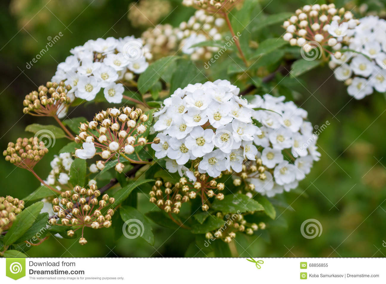 Bridal Wreath Shrub Flowers Stock Photo.
