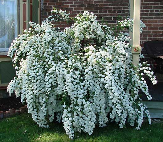 1000+ ideas about Bushes And Shrubs on Pinterest.