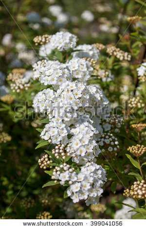 Spirea Flowering Shrub Stock Photos, Royalty.