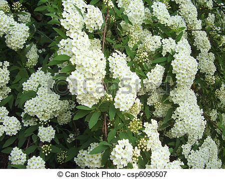 Stock Photography of Bridal wreath shrub flowers.