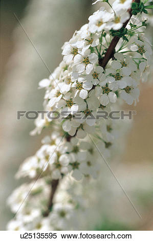 Stock Image of blossom, flower, bloom, flowers, plants, bridal.