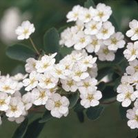 Bridal Wreath Bush.