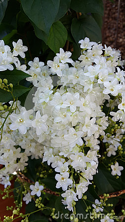 Bridal Wreath Shrub Flowers Stock Photos.