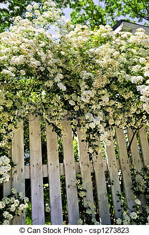 Stock Photos of White fence with blooming shrubs.
