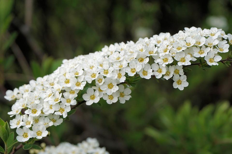 Free photo: Bride Spiere, Flowers, White, Bush.
