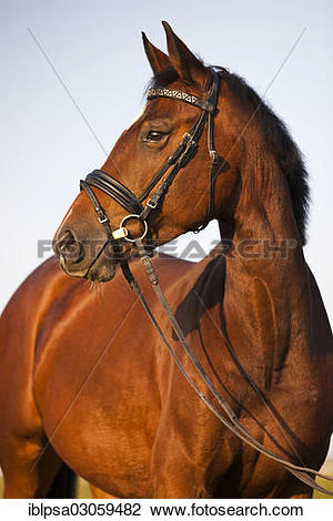 "Stock Photo of ""Austrian Warmblood, bay horse, bridled, rubber."