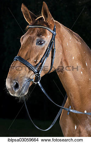 "Stock Photo of ""Bridled Hanoverian, chestnut horse with white."