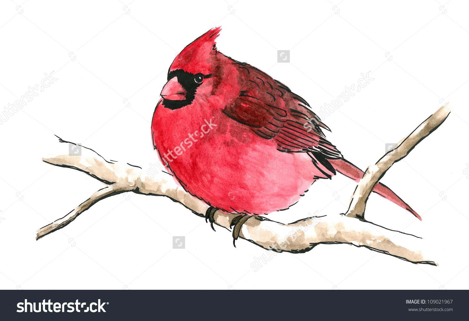 Bright Red Cardinal Bird Perched On Branch Isolated White.