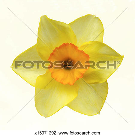 Stock Photo of Yellow daffodil with orange centre in close.
