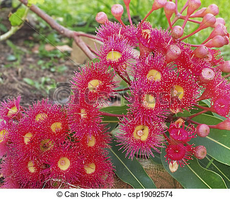 Picture of Corymbia pytochocarpa, Australian native plants, red.