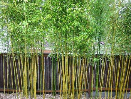 all you need to know to grow bamboo in your backyard.