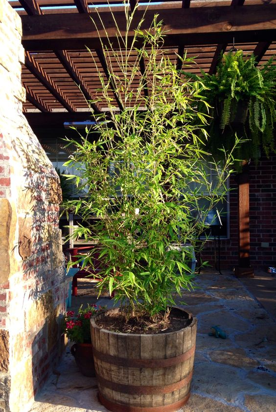 Golden Bamboo in a whiskey barrel, using for privacy on our patio.