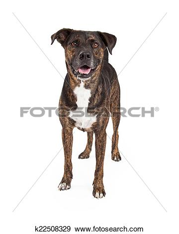 Stock Photograph of Friendly Brindle Color Dog Standing k22508329.