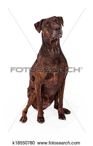 Stock Photography of Brindle Labrador and Plott Hound Crossbreed.