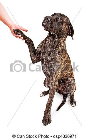 Stock Photography of Brindle Mastiff dog shaking hands.