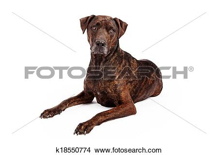 Stock Photo of Labrador Crossbreed With Brindle Coat k18550774.
