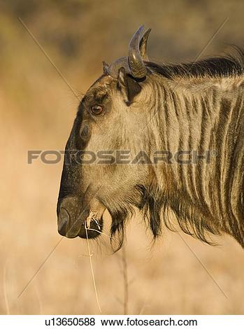 Pictures of Close up of Blue Wildebeest (Brindled Gnu), Greater.