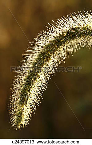 Stock Photo of nature foxtail fabers bristly setaria faberii.