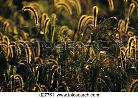 Stock Photography of 1990S Bristly Foxtail And Other Wild Grasses.