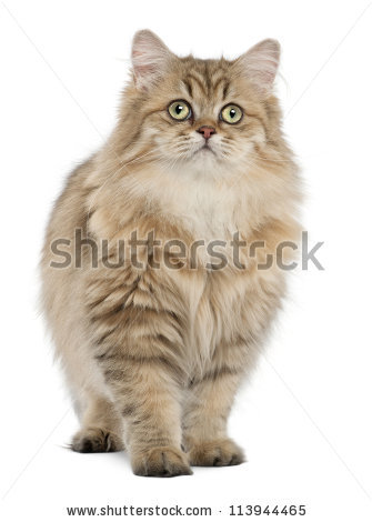 British Longhair Cat Stock Photos, Royalty.